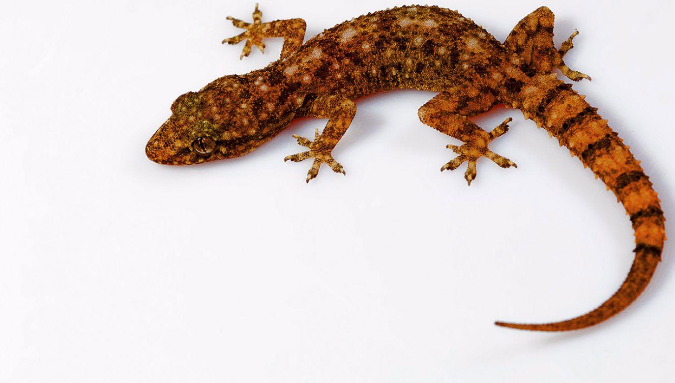 Jaszczurki mogą mieć zdolność do regenerowania części mózgu po urazach (fot. Shutterstock/RealityImages)