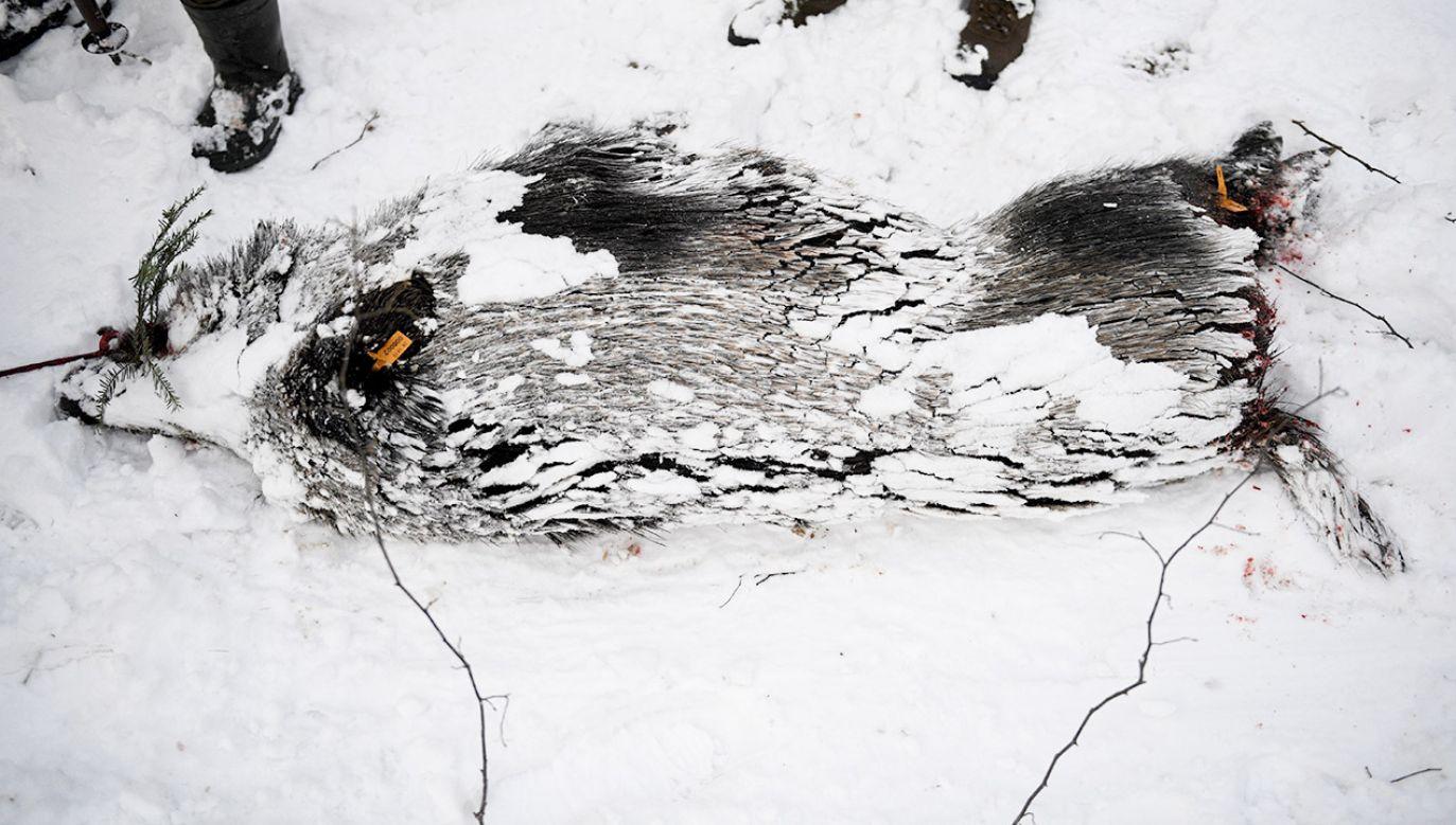Myśliwi podczas polowania zbiorowego w okolicy Wapowiec  (fot. PAP/Darek Delmanowicz)