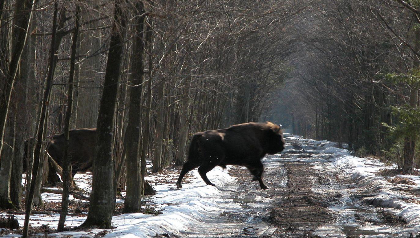 W polskiej części Puszczy Białowieskiej żyje na wolności ponad 650 żubrów (fot. flickr.com/vlod007)