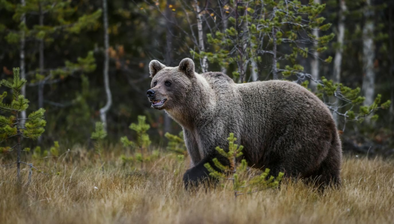 The bear is likely to reach a height of 3m on its hind legs and weigh up to 780kg. Photo: Shutterstock/David Havel