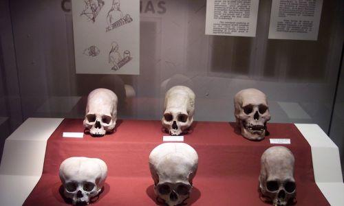 Czaszki z kultury andyjskiej Paracas, znajdujące się w Narodowym Muzeum Archeologii, Antropologii i Historii Peru w Limie. Widać na nich spłaszczenia głowy, praktykowane w elicie tej kultury. Fot.