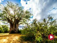 Kraina drzew mopane