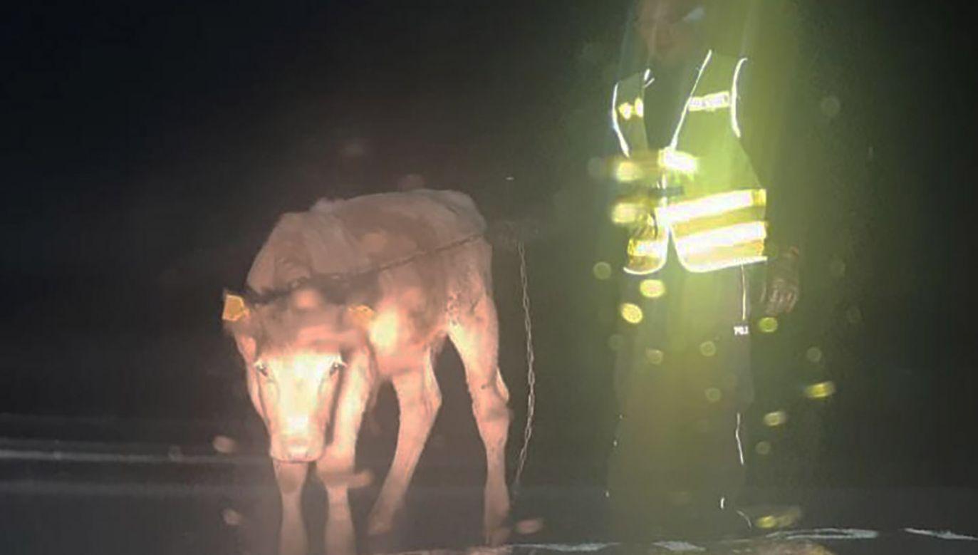 Zwierzę z urwanym łańcuchem urządziło sobie nocną wycieczkę (fot. Policja małopolska)