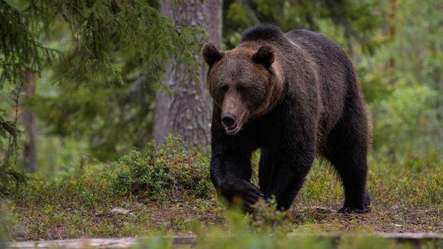 Leśnicy przestrzegają przed zwierzęciem i apelują o zdrowy rozsądek i ostrożność, a także o niezbliżanie się do dzikiego niedźwiedzia w przypadku jego zauważenia (fot. Shutterstock/Michele Aldeghi)