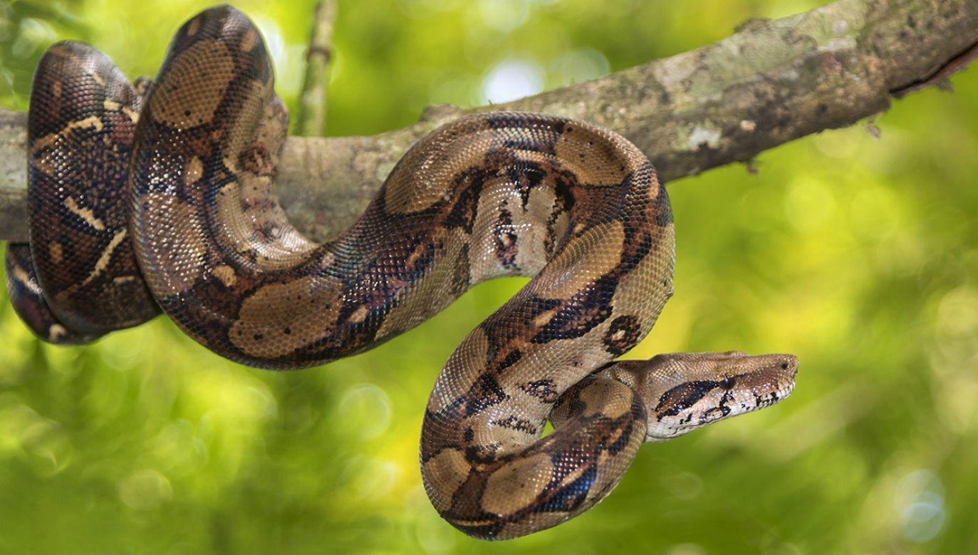 Dwumetrowy wąż nie uciekł zbyt daleko (fot. Shutterstock/Natalia Kuzmina)