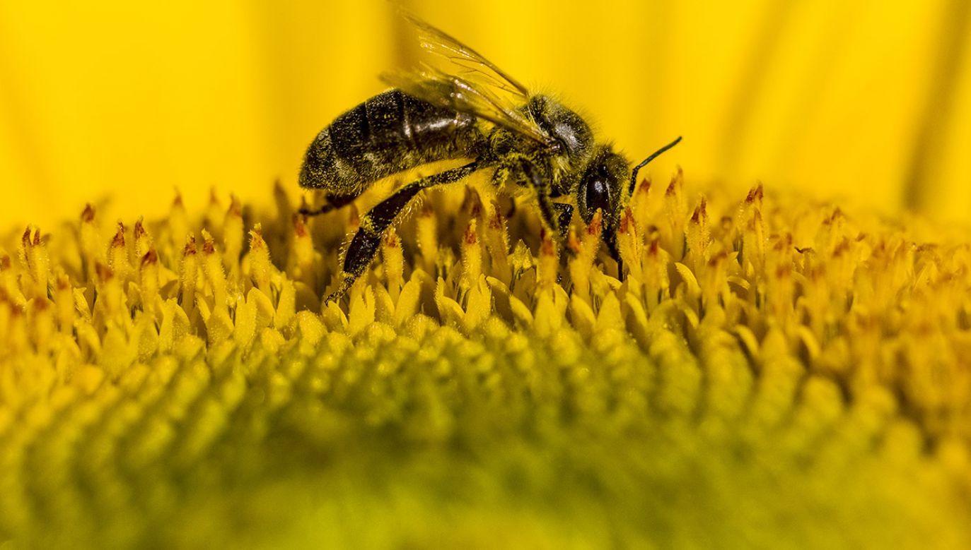Pszczoły nie tylko robią nam miód (fot. Frank Bienewald/LightRocket via Getty Images)