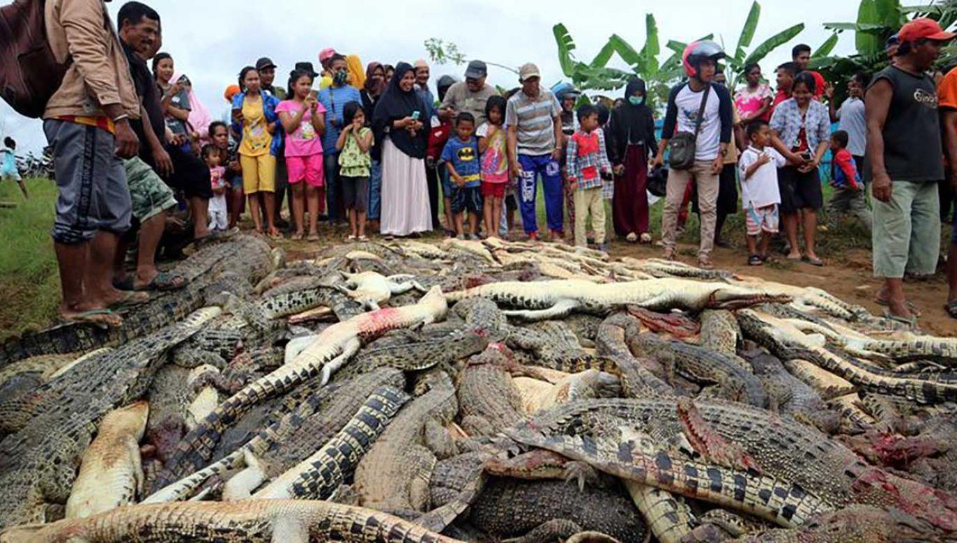 Stos zabitych krokodyli na farmie w rejonie Sorong, we wschodniej prowincji Indonezji w Zachodniej Papui (fot. REUTERS/Olha Mulalinda)