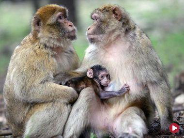 Zakochani są wśród zwierząt. Małpy