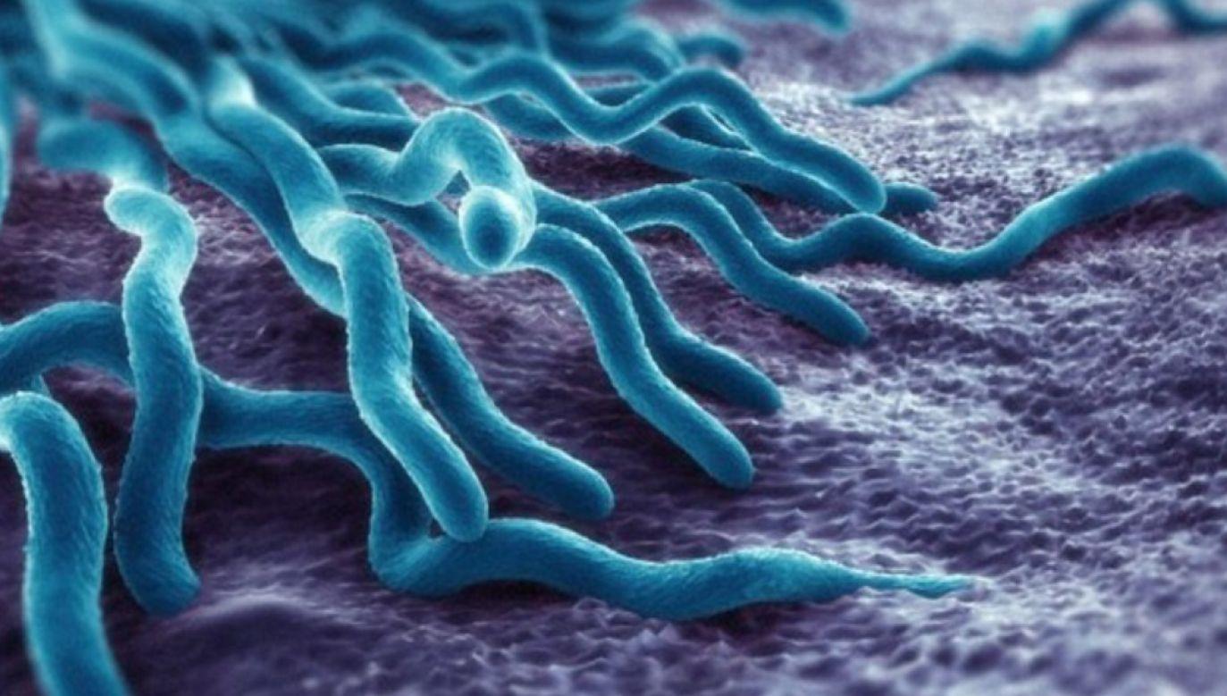 """Naukowcy coraz bliżej zrobienia baterii z """"elektrycznych"""" bakterii (wikimedia commons/DR Hanny Elsheika)"""