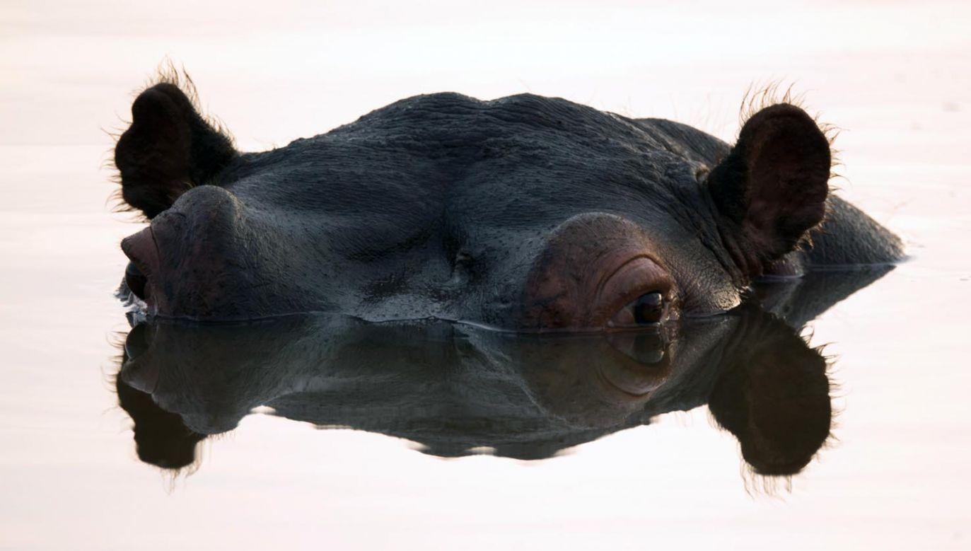 Z powodu podwyższenia się poziomu wody w jeziorze hipopotamy są zmuszone żerować w innych niż dotąd rejonach (fot. Dan Kitwood/Getty Images)