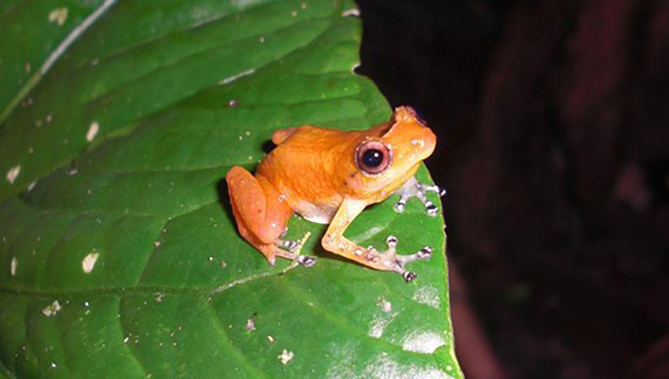 W El Cope, mimo bezpowrotnego lokalnego wyginięcia kilku gatunków, populacja żab poradziła sobie z grzybem i ustabilizowała się (fot. TT/UMD Science)