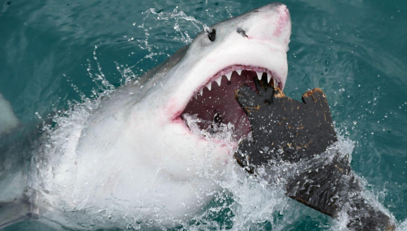 Żarłacz podczas ataku (fot. flickr.com/ Bernard DUPONT)