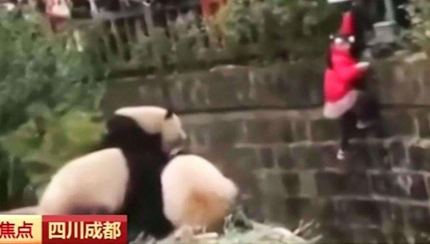 Wbrew popularnej opinii panda może stanowić zagrożenie dla człowieka (fot. FB/ABCNews)