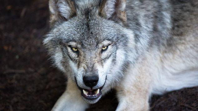 Wiosną wilki zagryzły 27 owiec w bacówce w Zdyni (fot. Shutterstock)