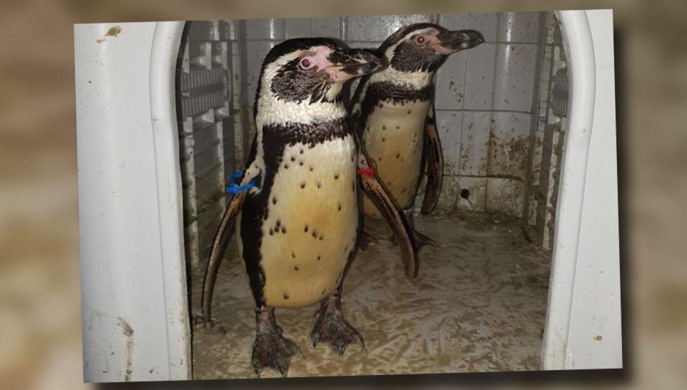 Policja odzyskała pingwiny (fot. Nottingham Police)