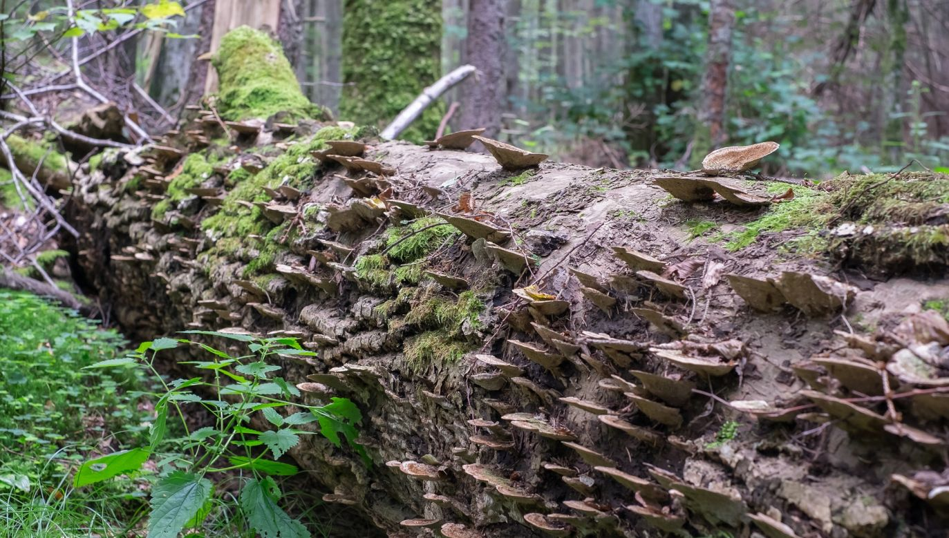 Bialowieza is the oldest and best-preserved forest of its kind in Europe. Photo: Pixabay/ Robert_z_Ziemi
