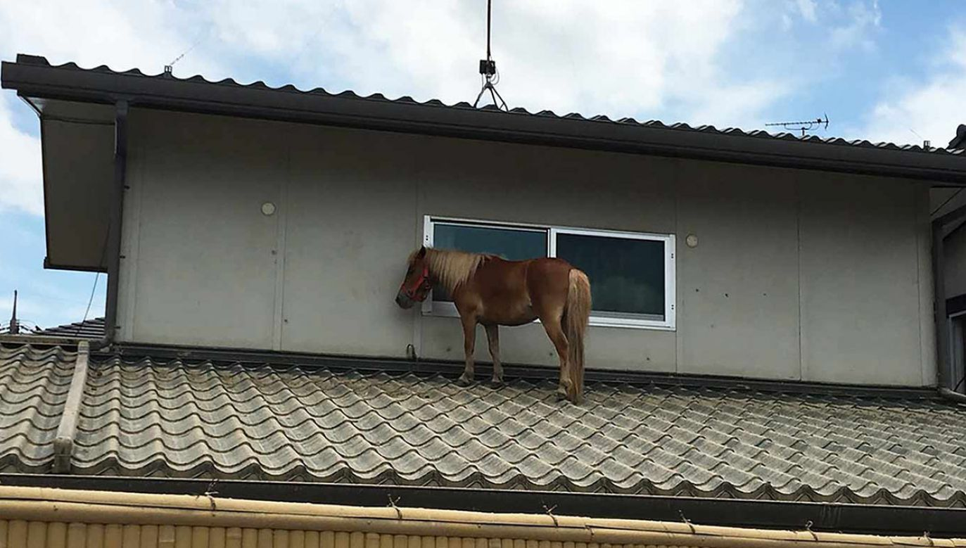 Zwierzę po 3 dniach odnaleziono na dachu jednego z japońskich mieszkań (fot. Peace Winds Japan)