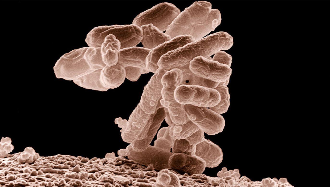 Escherichia coli jest najlepiej poznaną przez nas bakterią (fot. Wiki/USDA)