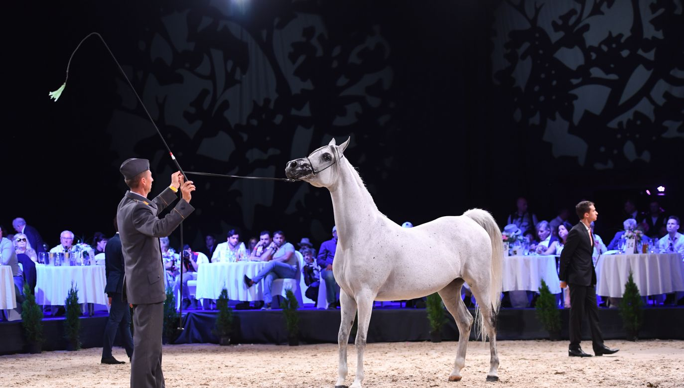 The gray mare named Parmana (pic) fetched the highest price, EUR 180,000. Photo: PAP/Wojciech Pacewicz