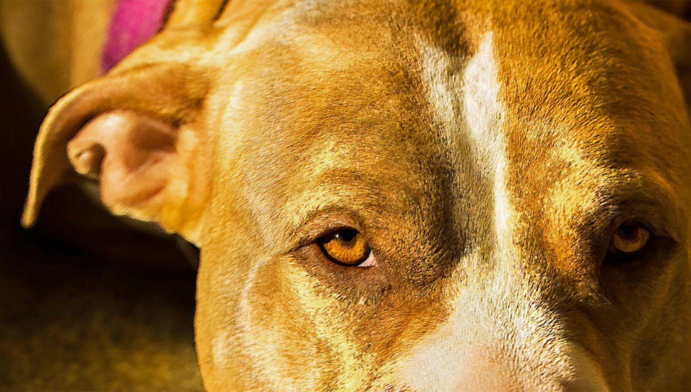 Na razie nie udało się ustalić właściciela pitbulla (fot. PXhere)