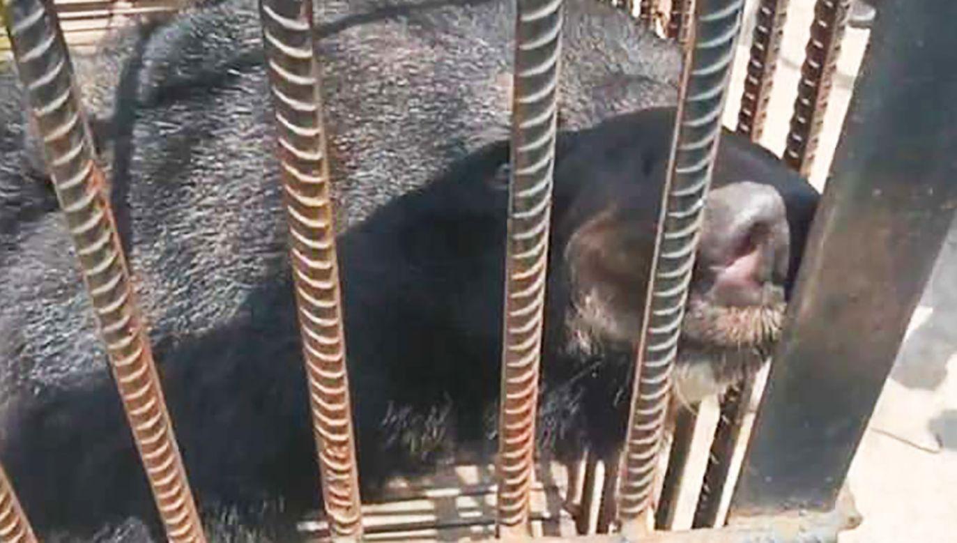 Szczeniaczek okazał się niedźwiedziem. Zwierzę codziennie pochłaniało skrzynkę owoców i dwa wiadra makaronu (fot. yt/PearVideo)