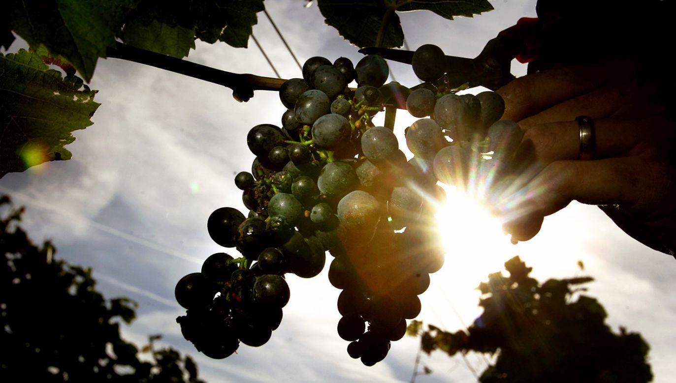 Wytwarzaniem wina lodowego zajęli się słuchacze Podkarpackiej Akademii Wina w Jaśle (fot. REUTERS/Kai Pfaffenbach)