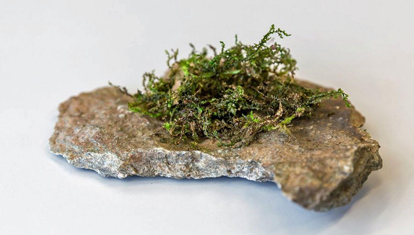 Substancja izolowana z pewnego gatunku wątrobowców może zastąpić medyczną marihuanę (fot. TT/Universität Bern)