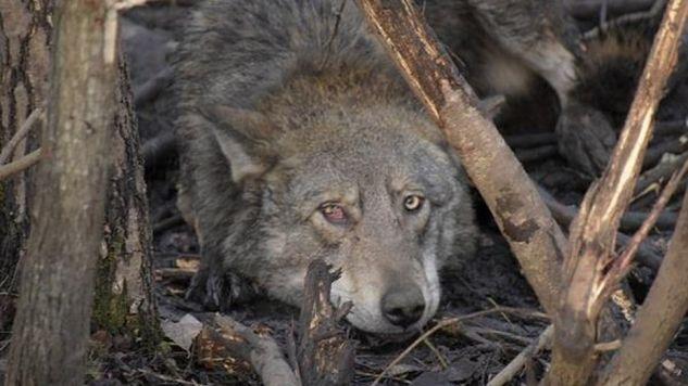 Złapany w pułapkę wilk był w opłakanym stanie (fot. Dariusz Morsztyn / lasy.gov.pl)