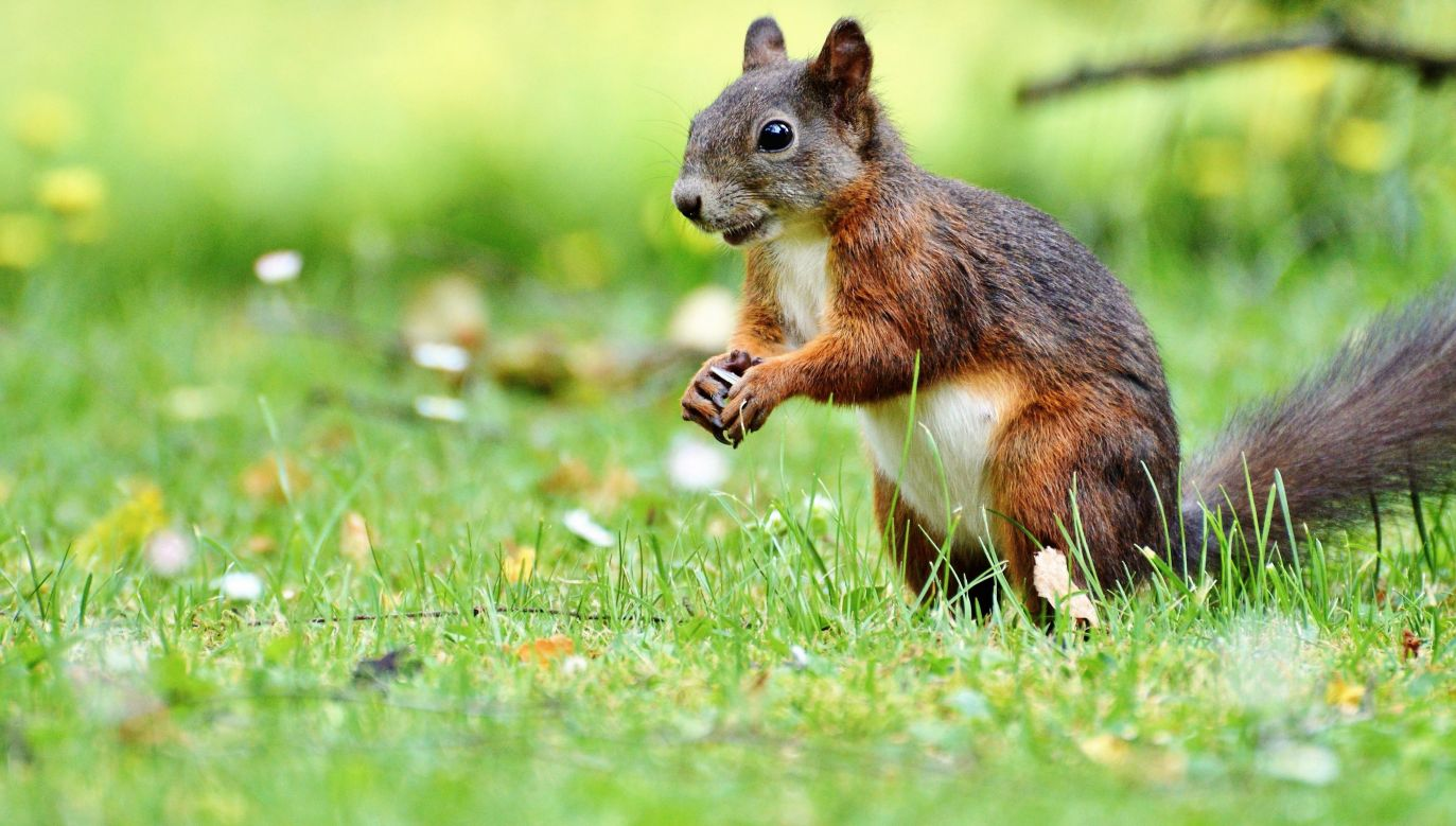A red squirrel. Photo: pixabay.com